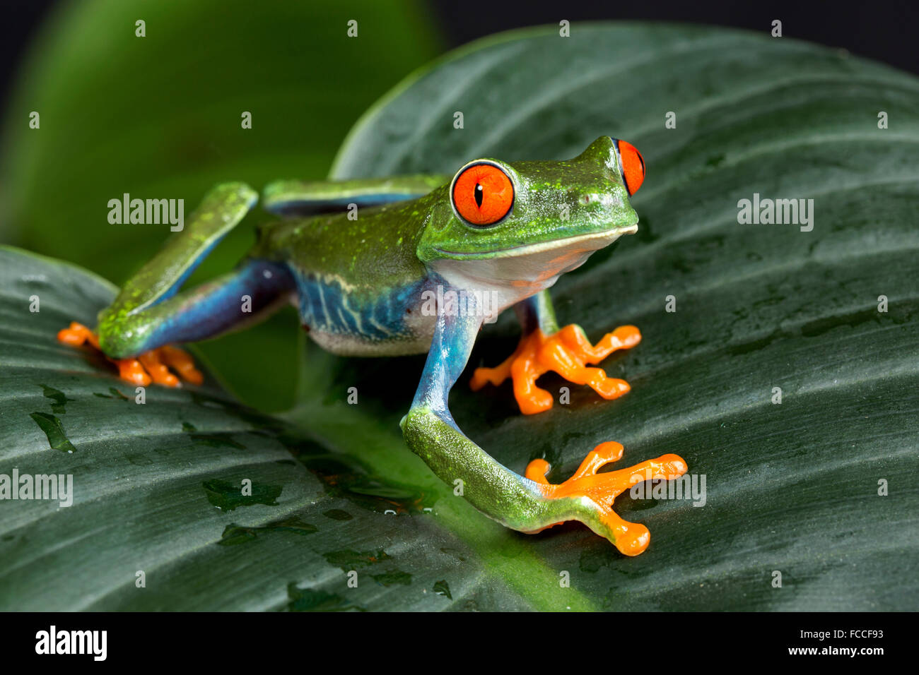 Red Eyed Tree Frog - Stock Image