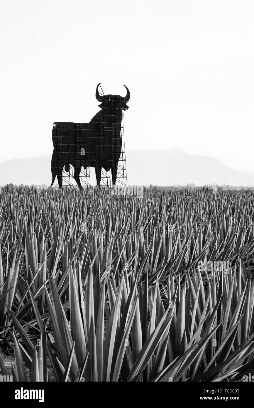 Back of billboard in field of blue agave in the the west central state of Jalisco, Mexico. - Stock Image