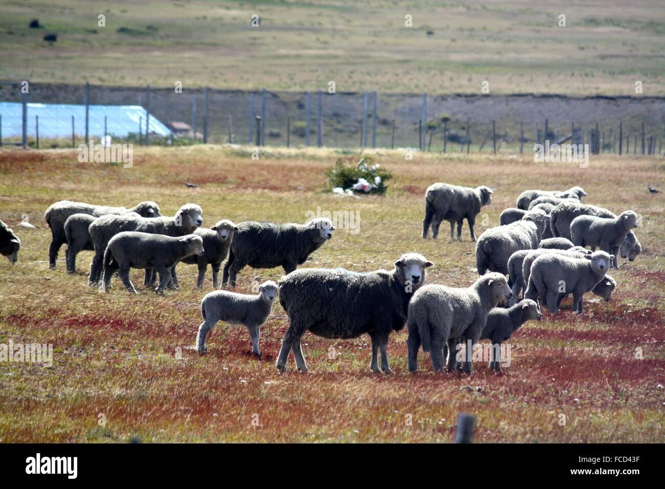 Flock Of Sheep On A Pastureland - Stock Image