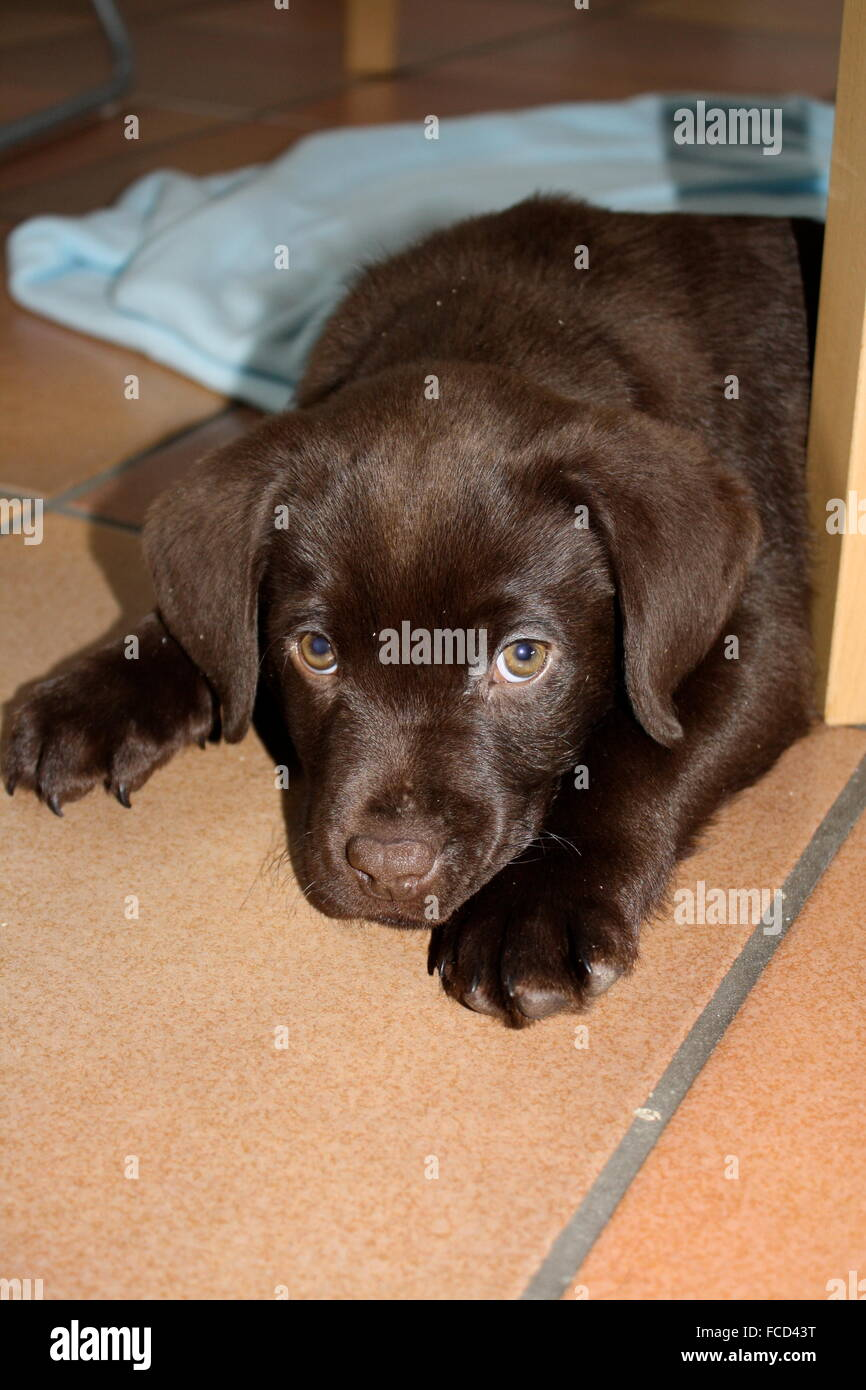 Cute Obedient Puppy Sitting On The Floor - Stock Image