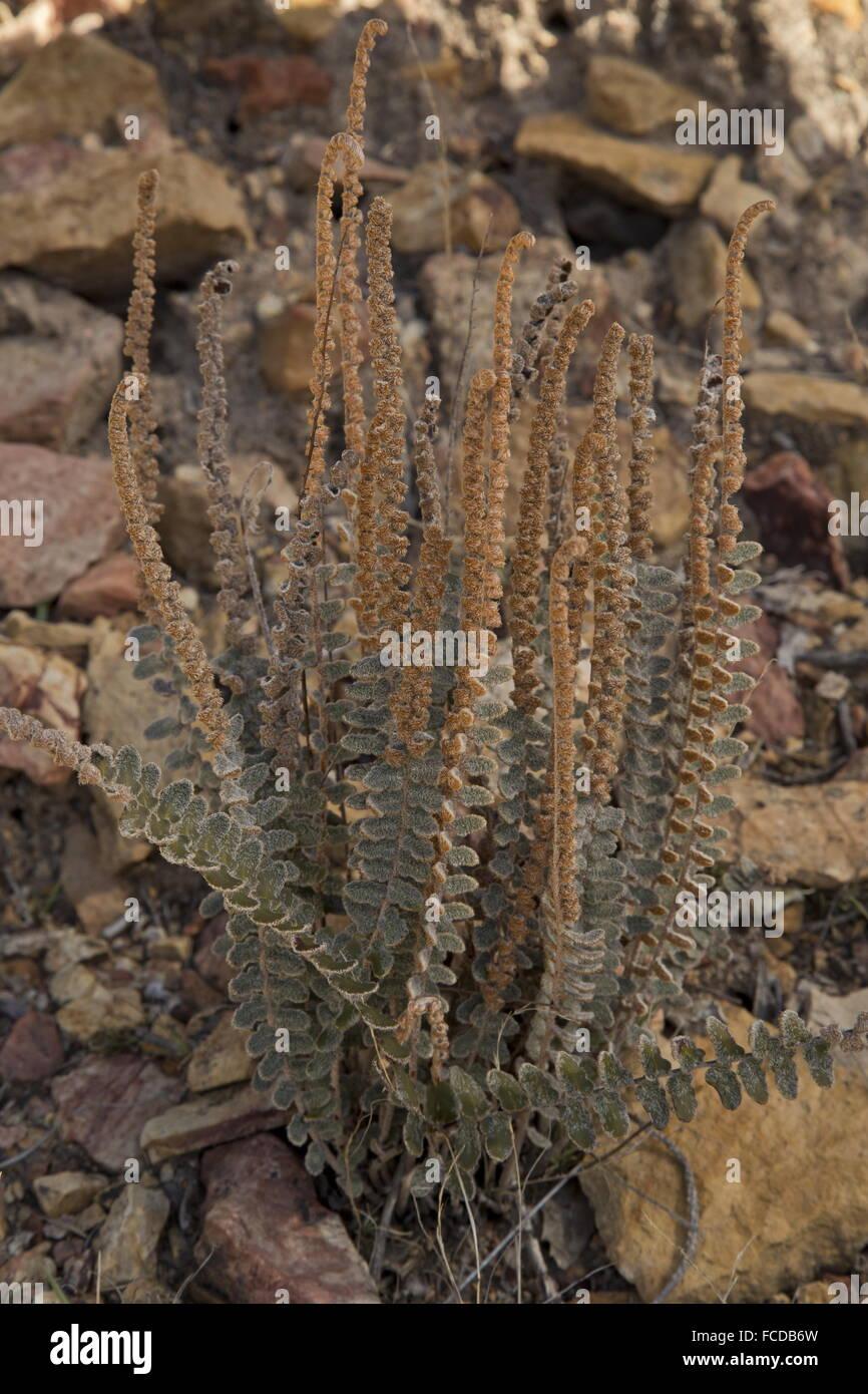Wholeleaf cloak fern, Astrolepis integerrima on rocky slope, Big Bend National Park. - Stock Image
