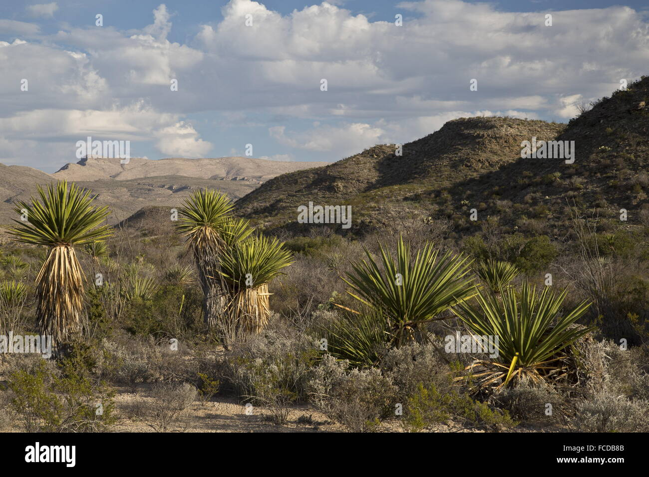 Spanish dagger or Torrey Yucca, Yucca faxoniana, on Dagger Flats, with Deadhorse Mountains beyond; Big Bend National - Stock Image