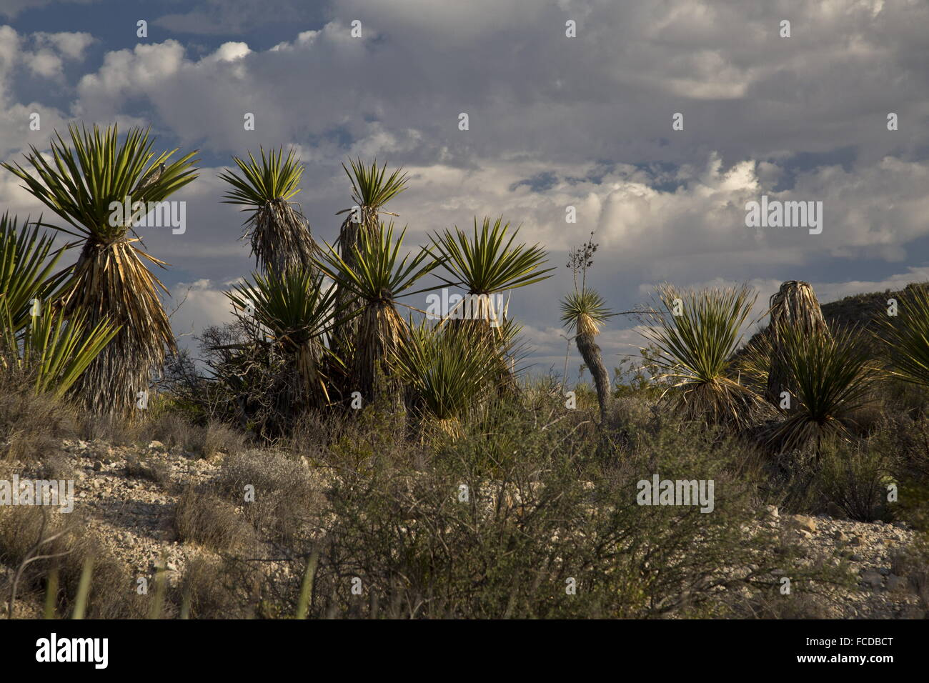 Spanish dagger or Torrey Yucca, Yucca faxoniana, on Dagger Flats, Big Bend National Park, Texas - Stock Image