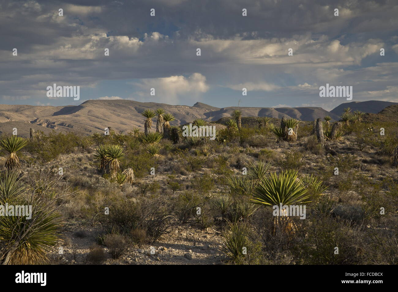 Spanish dagger or Torrey Yucca, Yucca faxoniana, on Dagger Flats, with Deadhorse Mountains beyond; Big Bend National Stock Photo