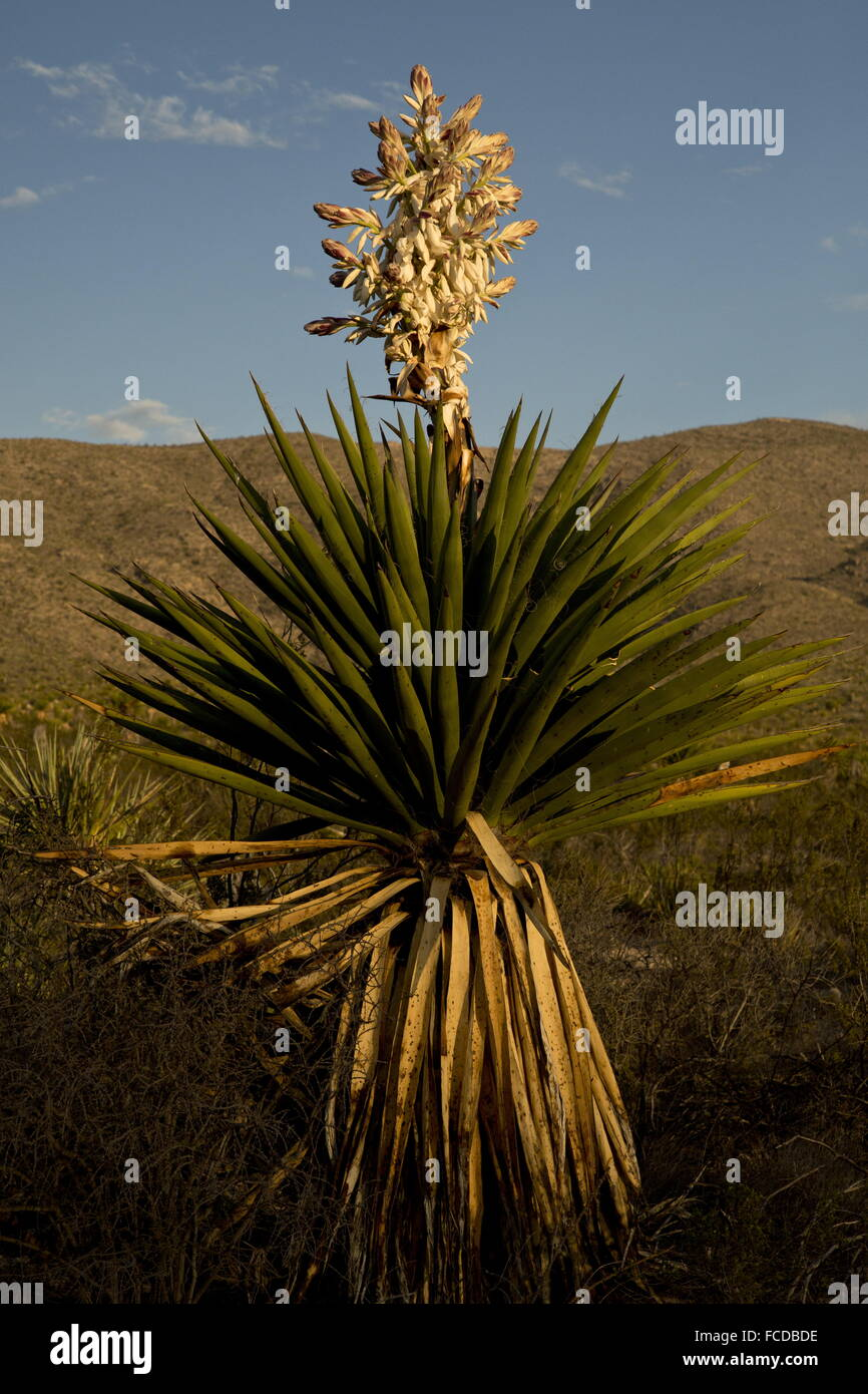 Spanish dagger or Torrey Yucca, Yucca faxoniana, in flower; on Dagger Flats, Big Bend National Park, Texas - Stock Image