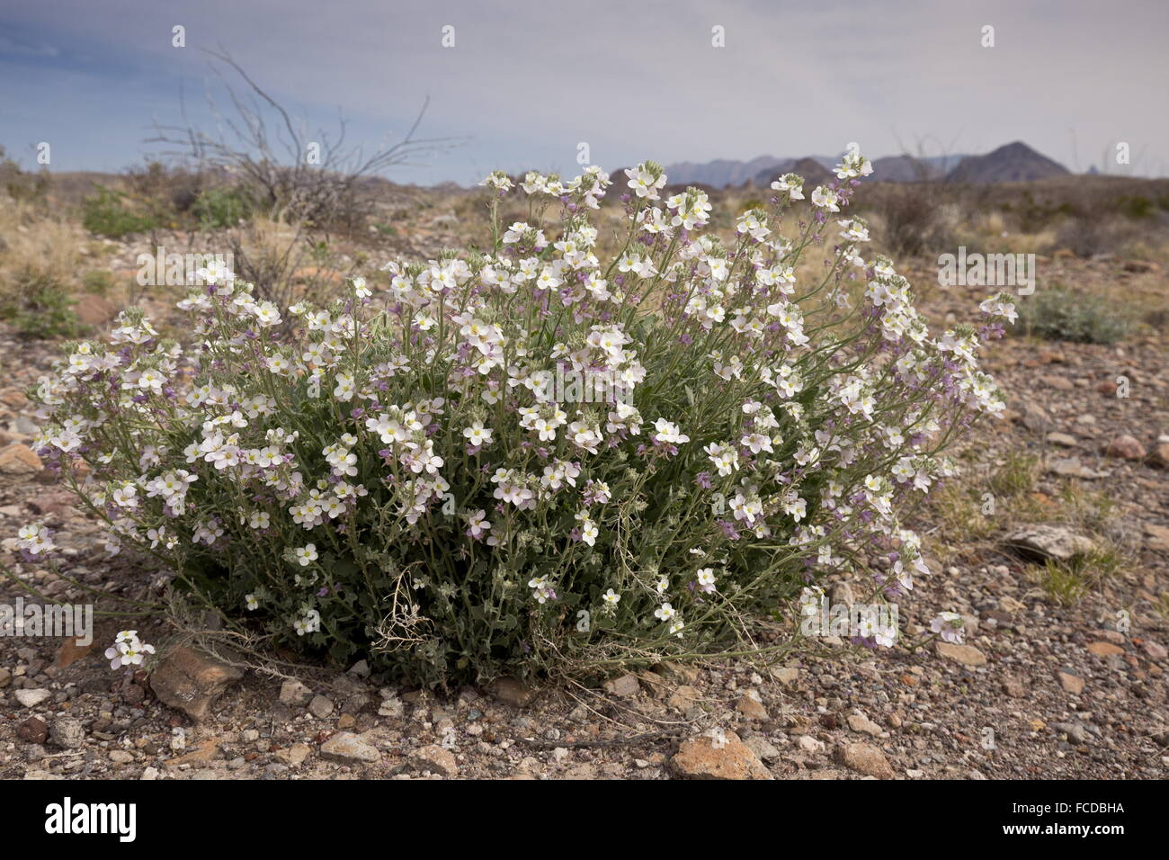 Bicolored Mustard, Nerisyrenia Camporum, in flower,  Big Bend National Park, Texas Stock Photo