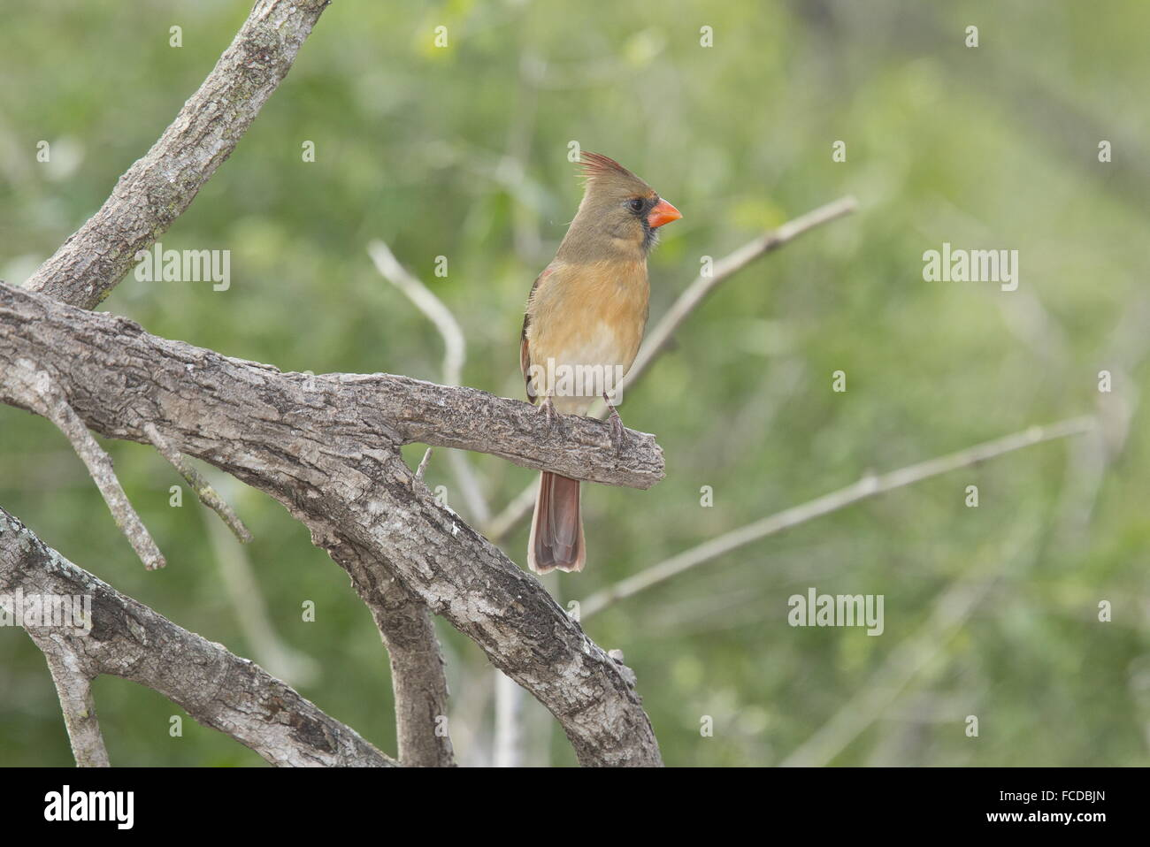 Female Northern Cardinal, Cardinalis cardinalis on branch, Texas. Stock Photo