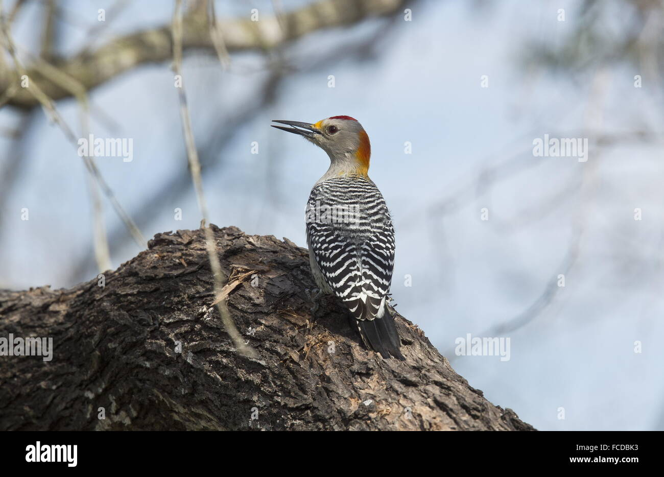Golden-fronted Woodpecker, Melanerpes aurifrons - male on dead branch. Rio Grande, Texas. Stock Photo