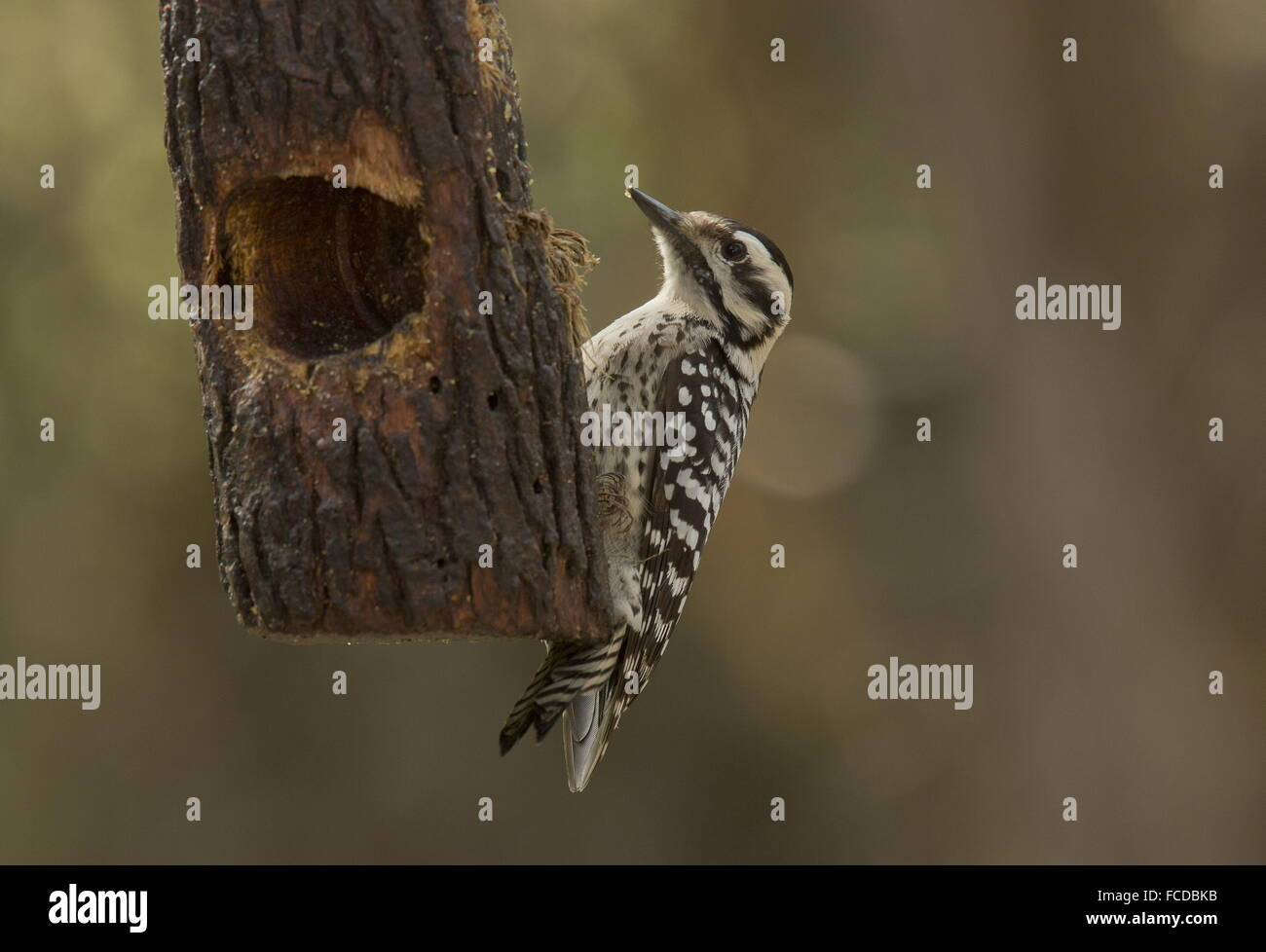 Superb Female Ladder Backed Woodpecker, Dryobates Scalaris, At Feeder, Rio Grande,  Texas.