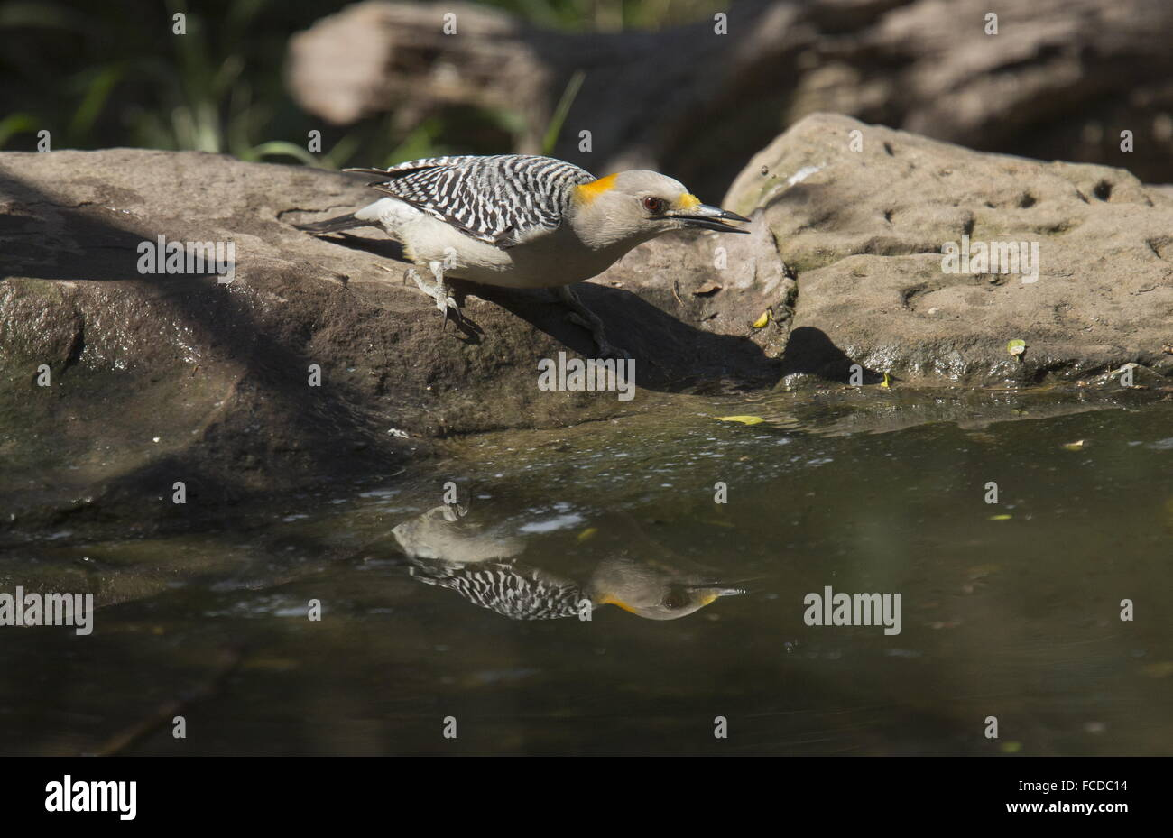 Golden-fronted Woodpecker, Melanerpes aurifrons - male drinking. Texas. Stock Photo