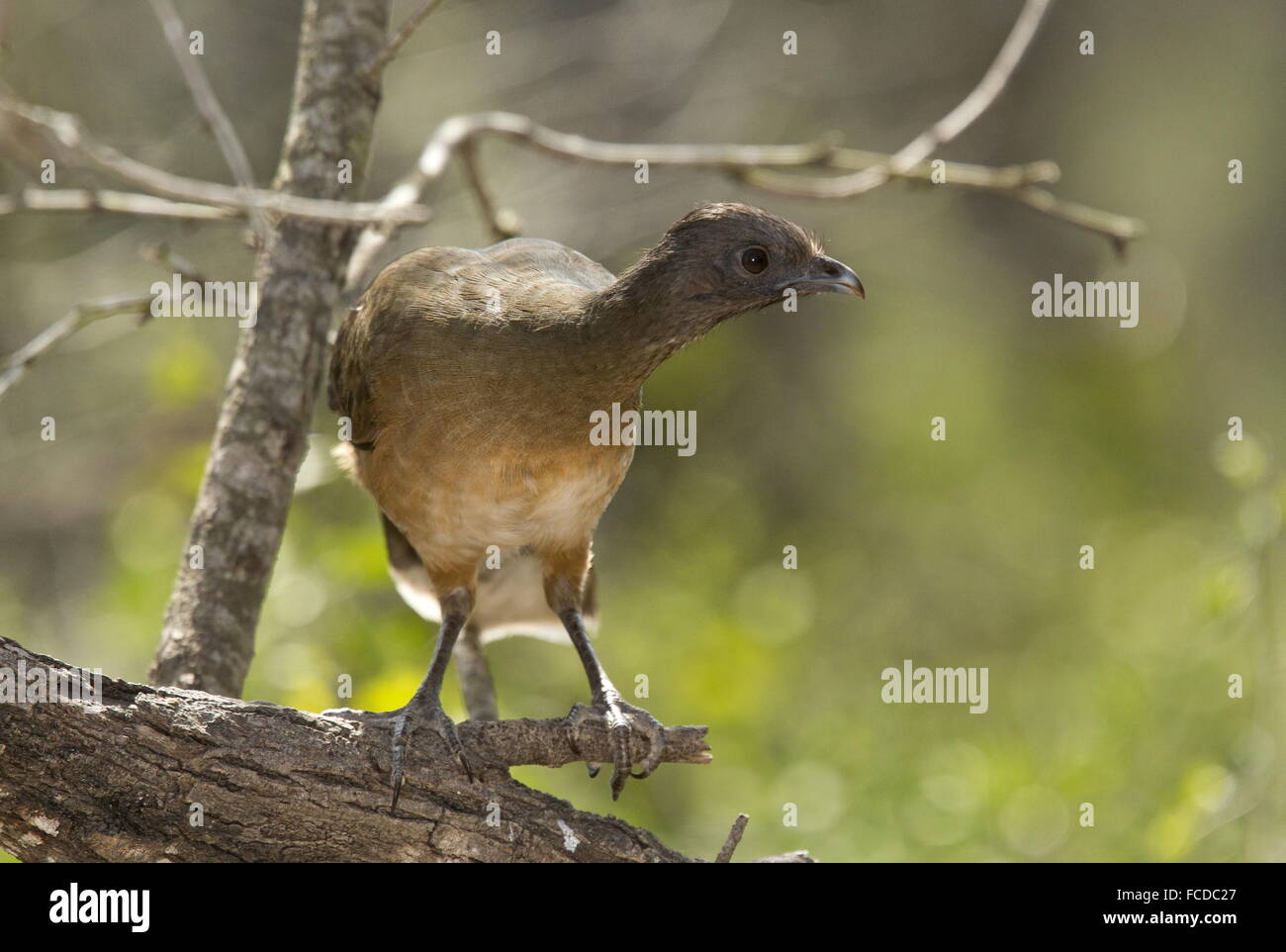 Plain Chachalaca, Ortalis vetula perched on branch, Rio Grande valley, Texas. - Stock Image