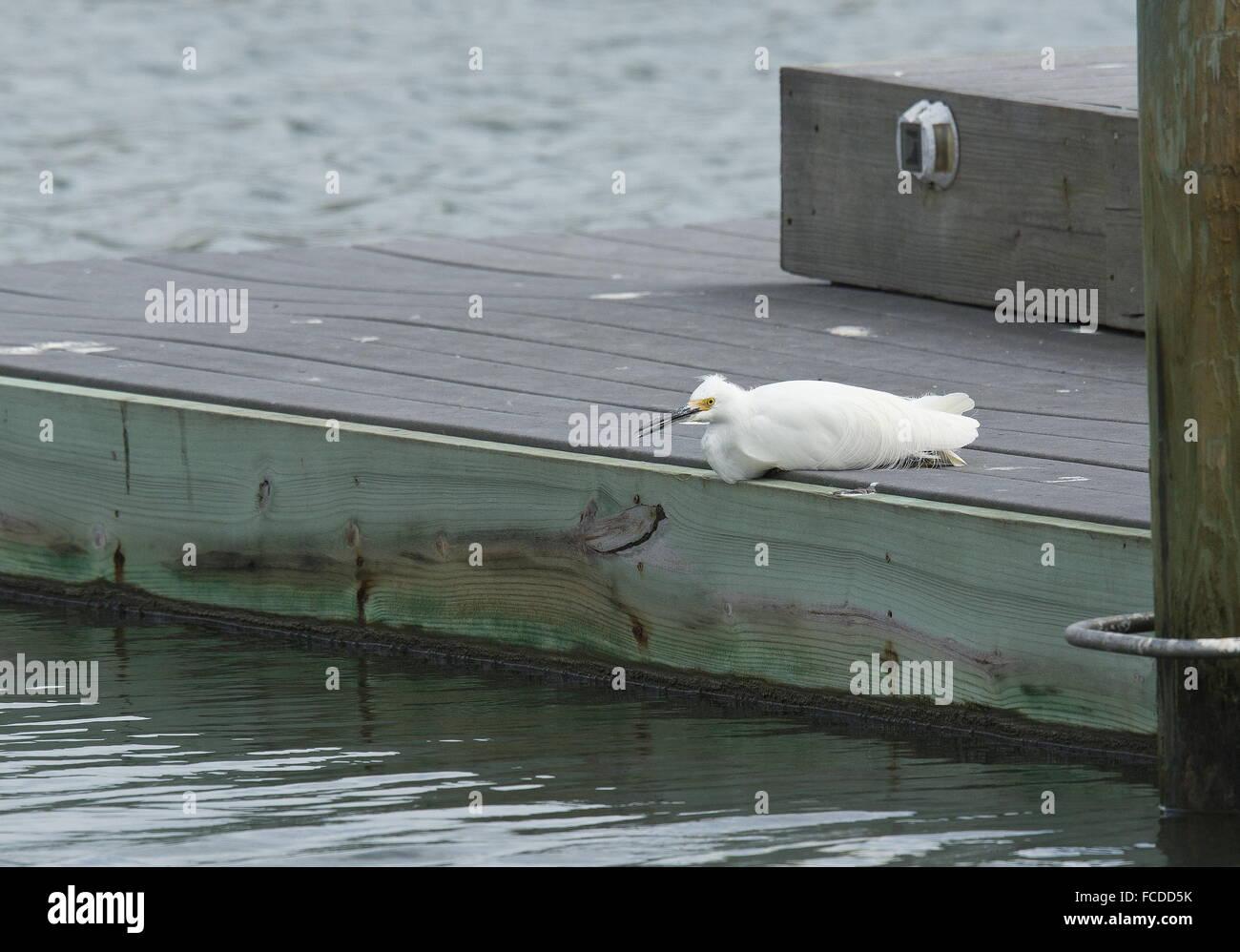 Snowy Egret, Egretta thula, lying down on jetty; Texas - Stock Image