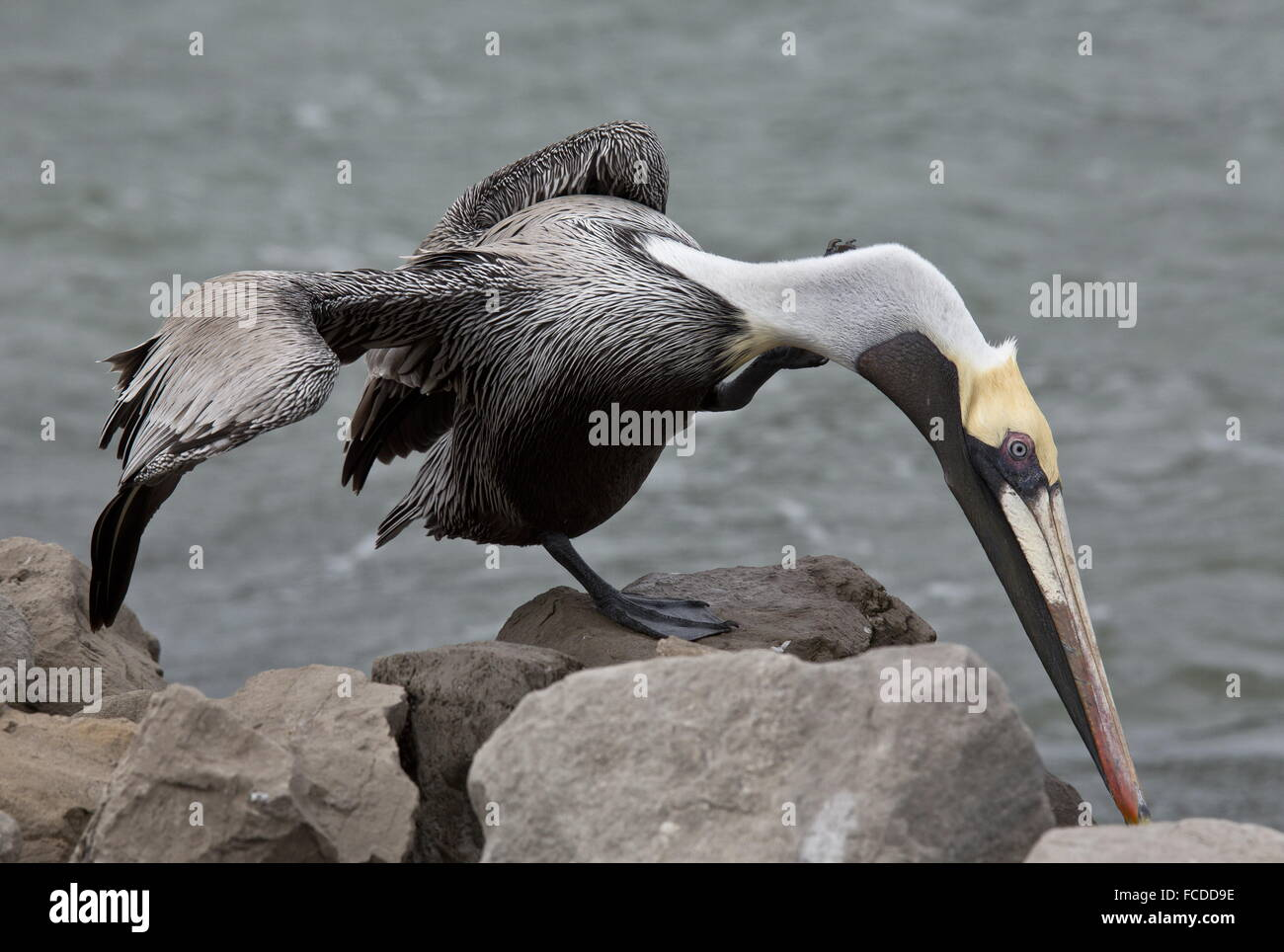 Brown Pelican, Pelecanus occidentalis, preening; in winter; Gulf coast, Texas. Stock Photo