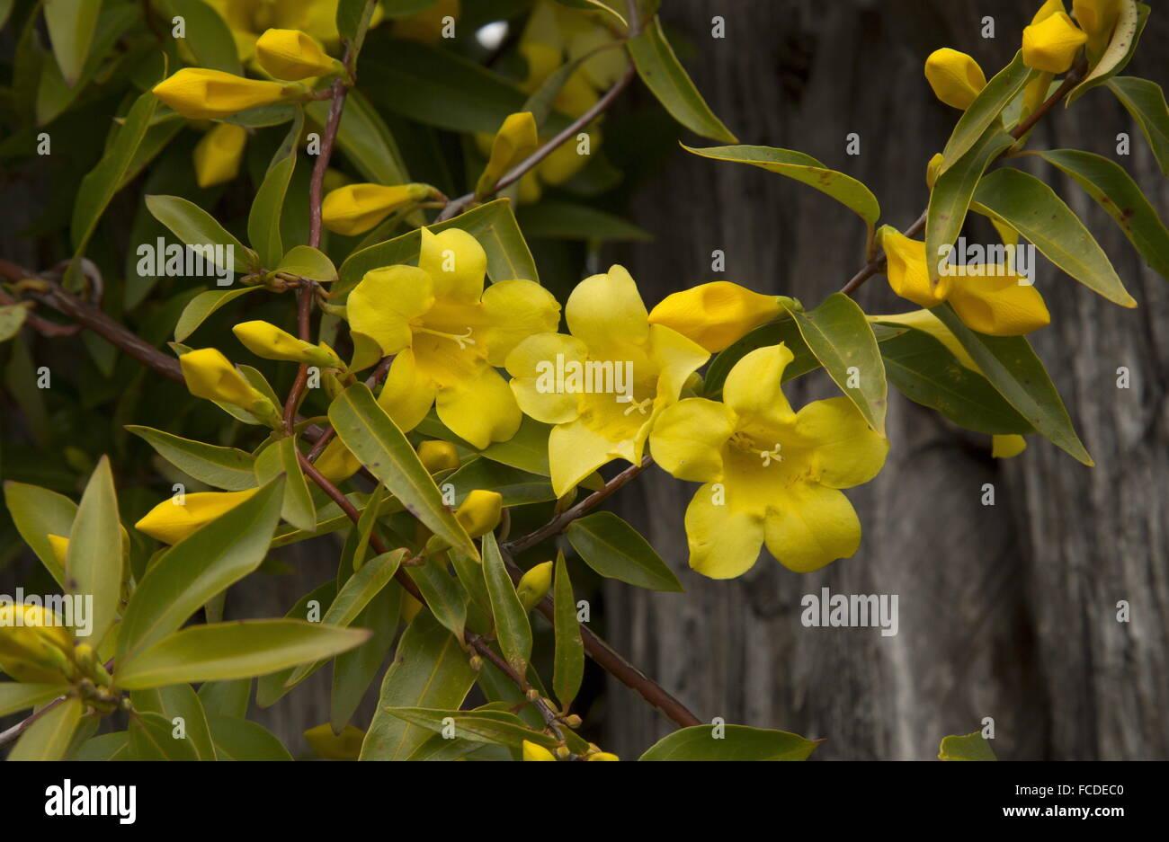 Carolina jessamine gelsemium sempervirens in flower in early stock carolina jessamine gelsemium sempervirens in flower in early spring texas izmirmasajfo