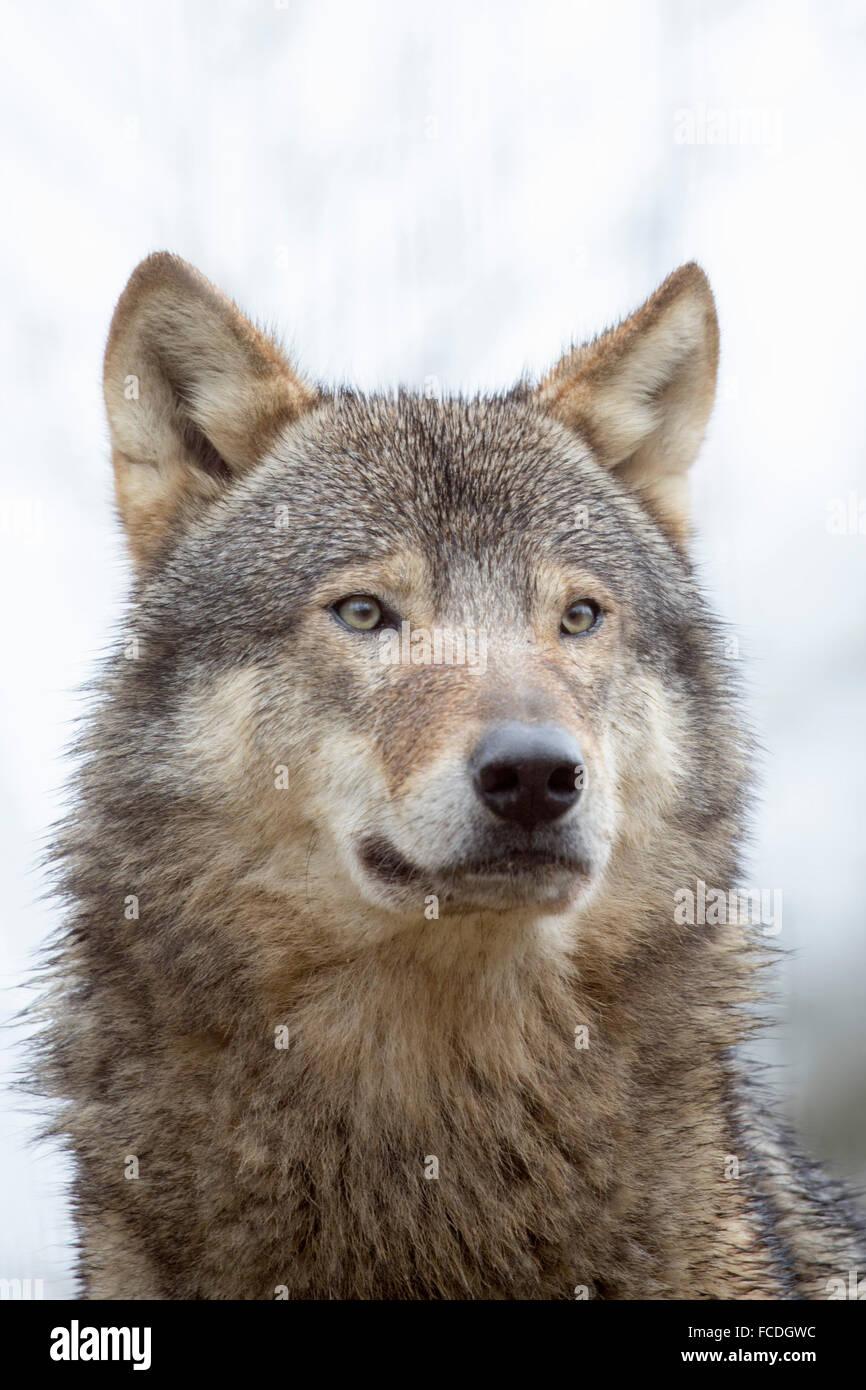 Netherlands, Kerkrade, Gaia Zoo. Gray wolf Stock Photo