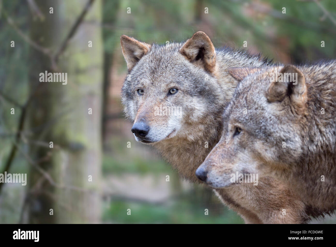 Netherlands, Kerkrade, Gaia Zoo. Gray wolf - Stock Image