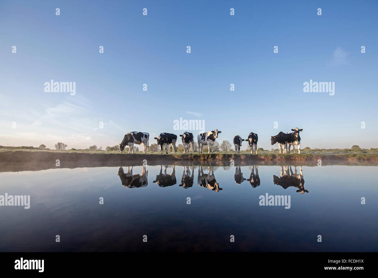 Netherlands, Afferden, Small river called Eckeltsche Beek or Bleijenbeek. Cows - Stock Image