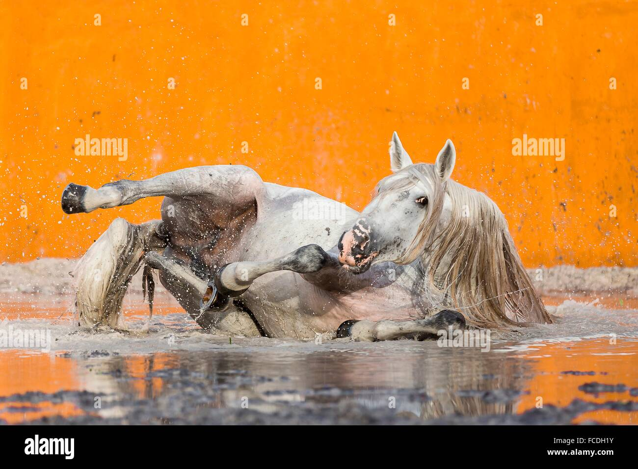 Lusitano. Gray stallion wallowing in a flooded bullfighting arena. Portugal - Stock Image