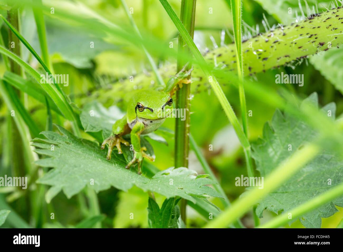 Netherlands, Susteren near Echt. Nature reserve De Doort. European tree frog (Hyla arborea formerly Rana arborea) - Stock Image