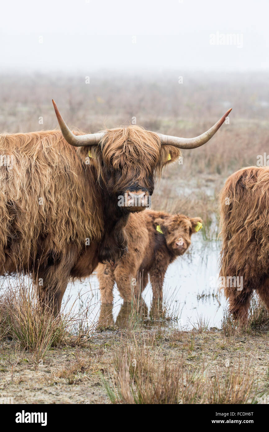 Netherlands, Loon op Zand, De Moer. nature reserve Huis ter Heide. Highland cattle in morning mist - Stock Image