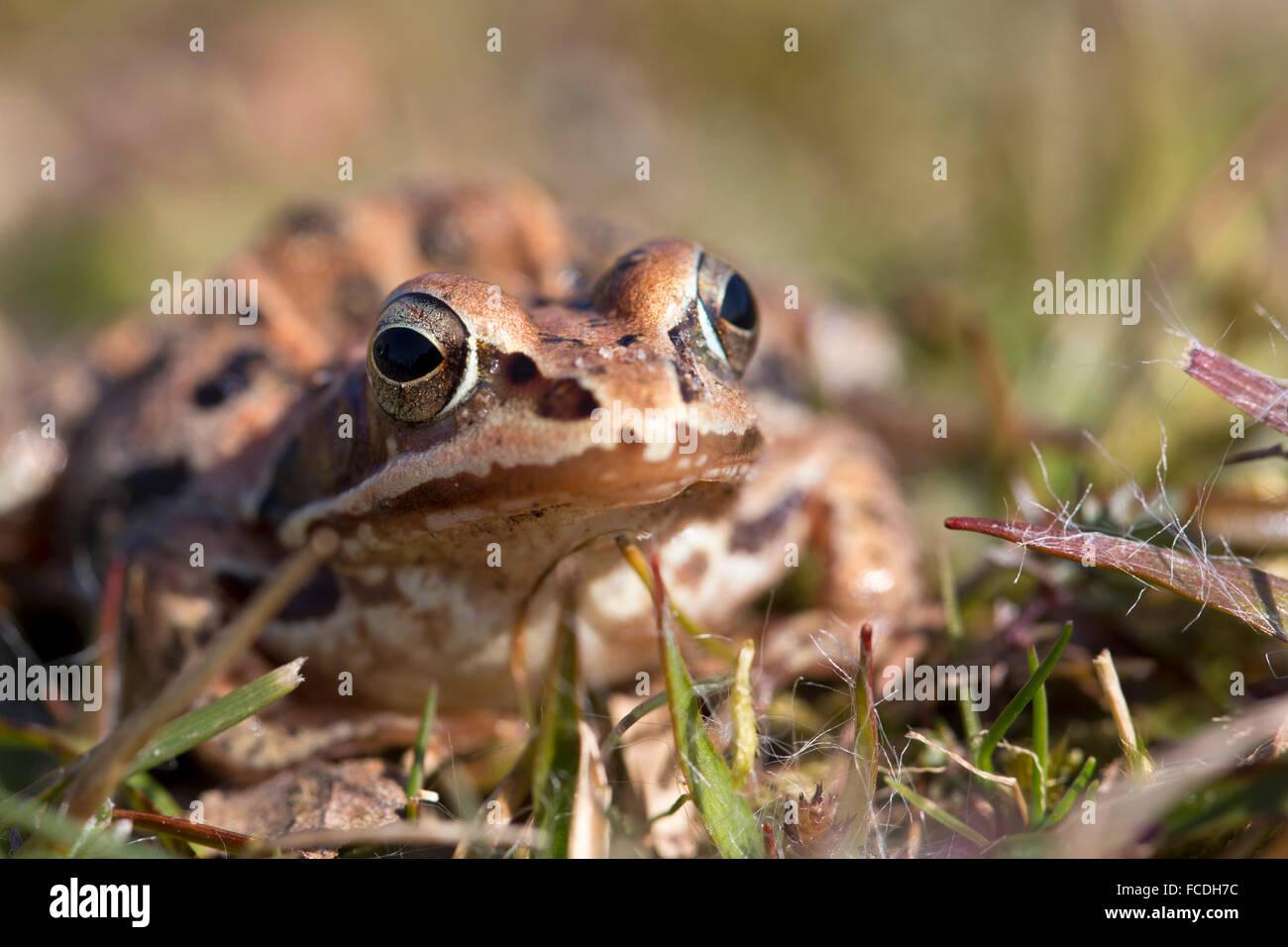 Netherlands, Loon op Zand, De Moer. nature reserve Huis ter Heide. Female moor frog (Rana arvalis) Stock Photo