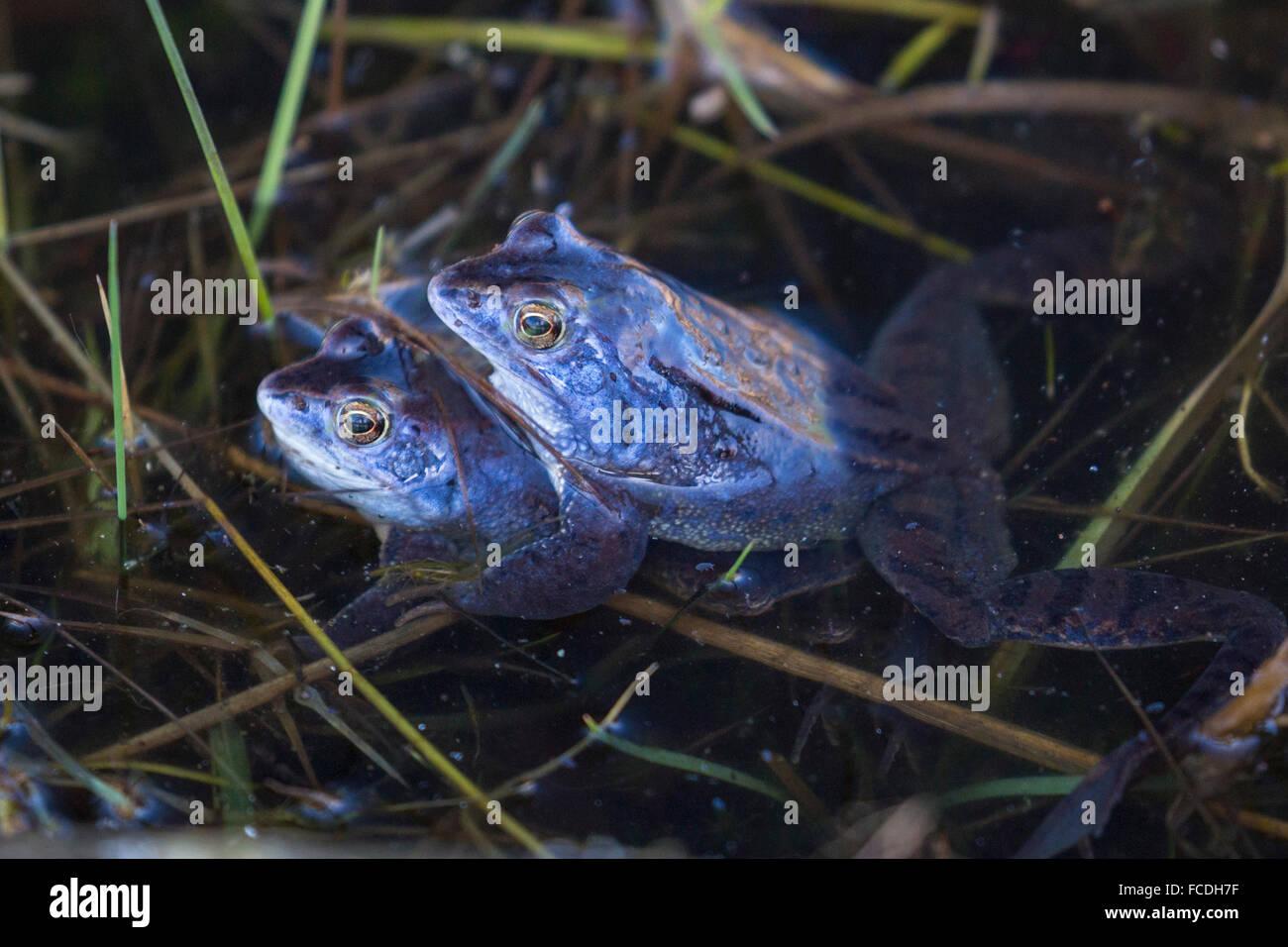 Netherlands, Loon op Zand, De Moer. nature reserve Huis ter Heide. Male moor frogs (Rana arvalis) changing color Stock Photo