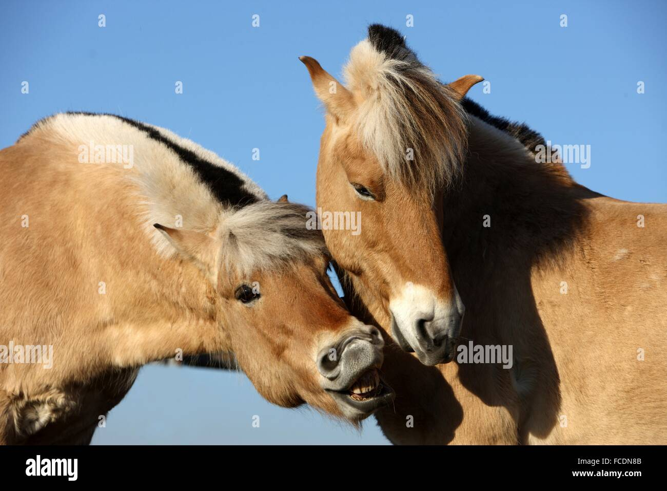 Norwegian Fjord Horse. Two adults smooching. Germany - Stock Image
