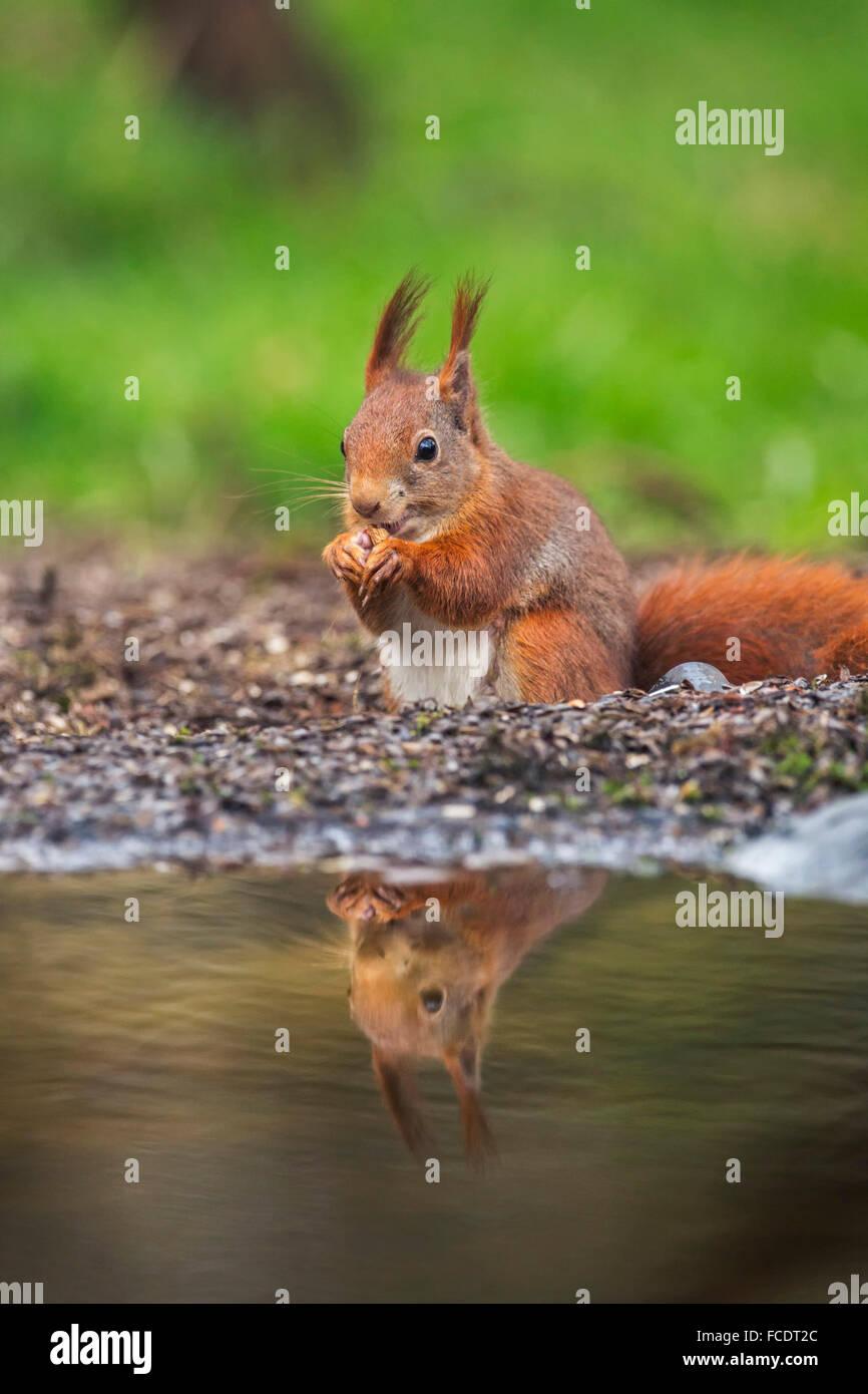 Netherlands, 's-Graveland, 's-Gravelandse Buitenplaatsen, Rural estate Hilverbeek. Eurasian Red Squirrel - Stock Image