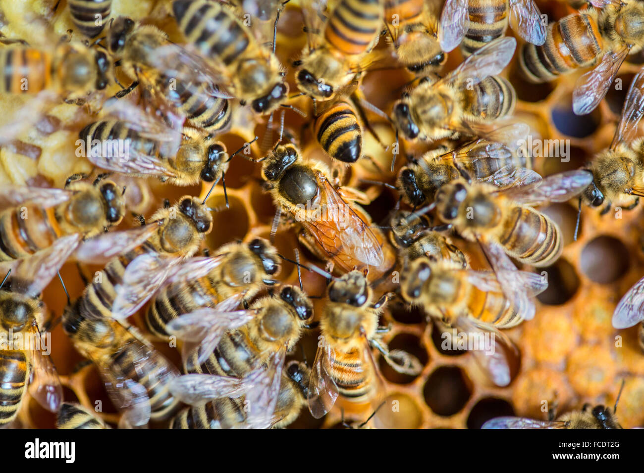Netherlands, 's-Graveland, Honey Bee queen with workers in hive - Stock Image