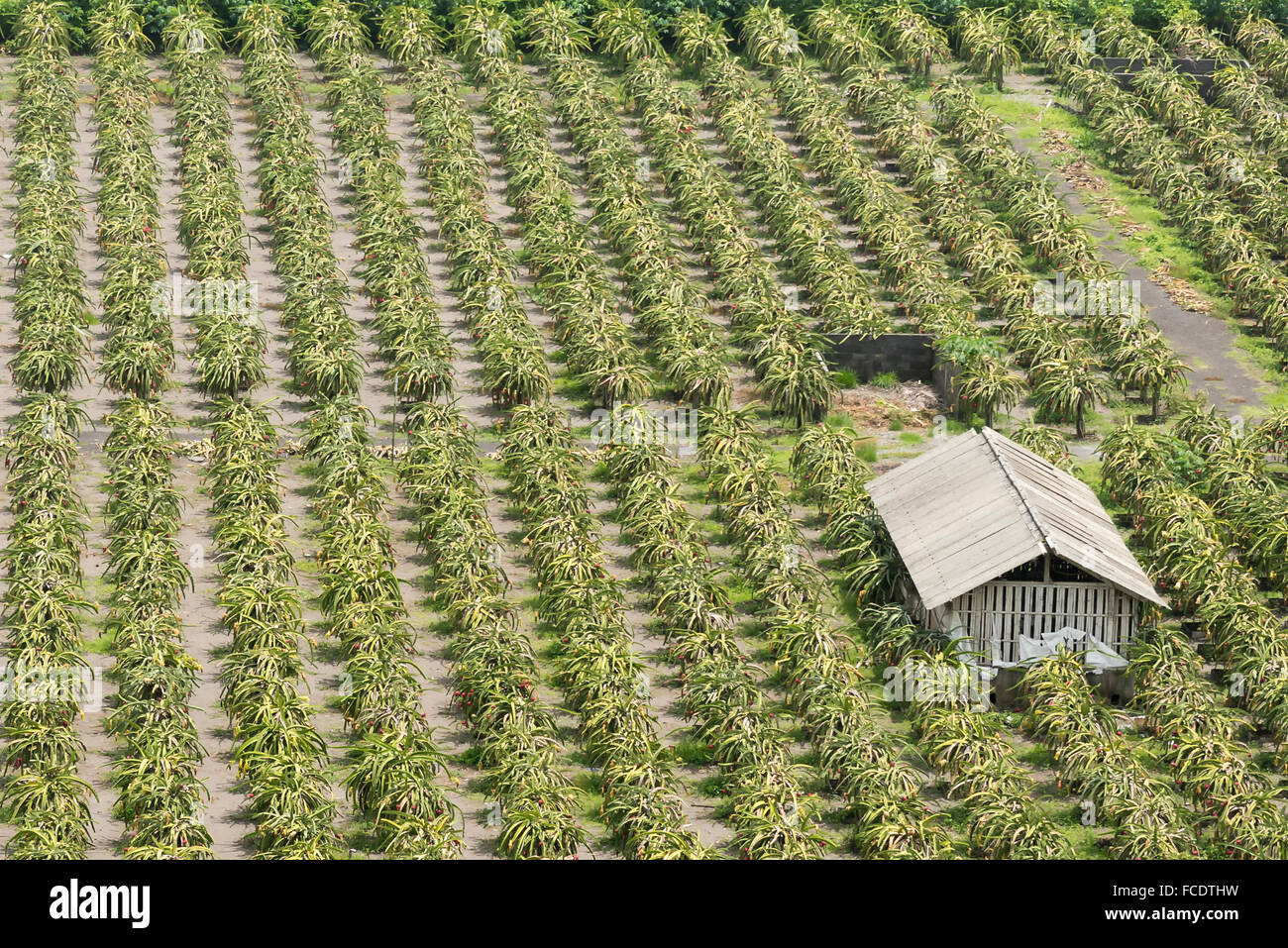 Plantation of red dragon fruit (Hylocereus costaricensis) in Indonesia - Stock Image