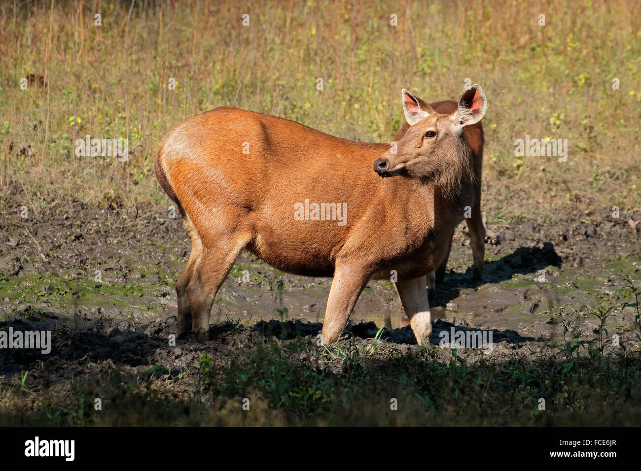 Female sambar deer (Rusa unicolor), Kanha National Park, India - Stock Image