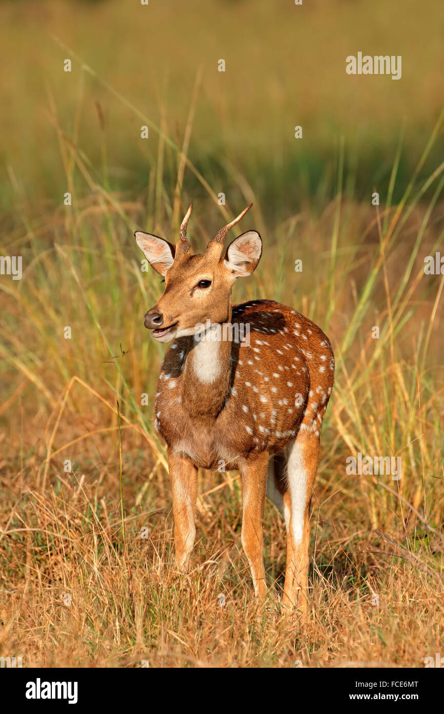A young male spotted deer or chital (Axis axis), Kanha National Park, India - Stock Image