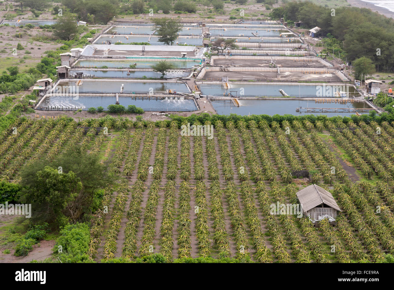 Plantation of red dragon fruit (Hylocereus costaricensis) and fish ponds in Indonesia - Stock Image