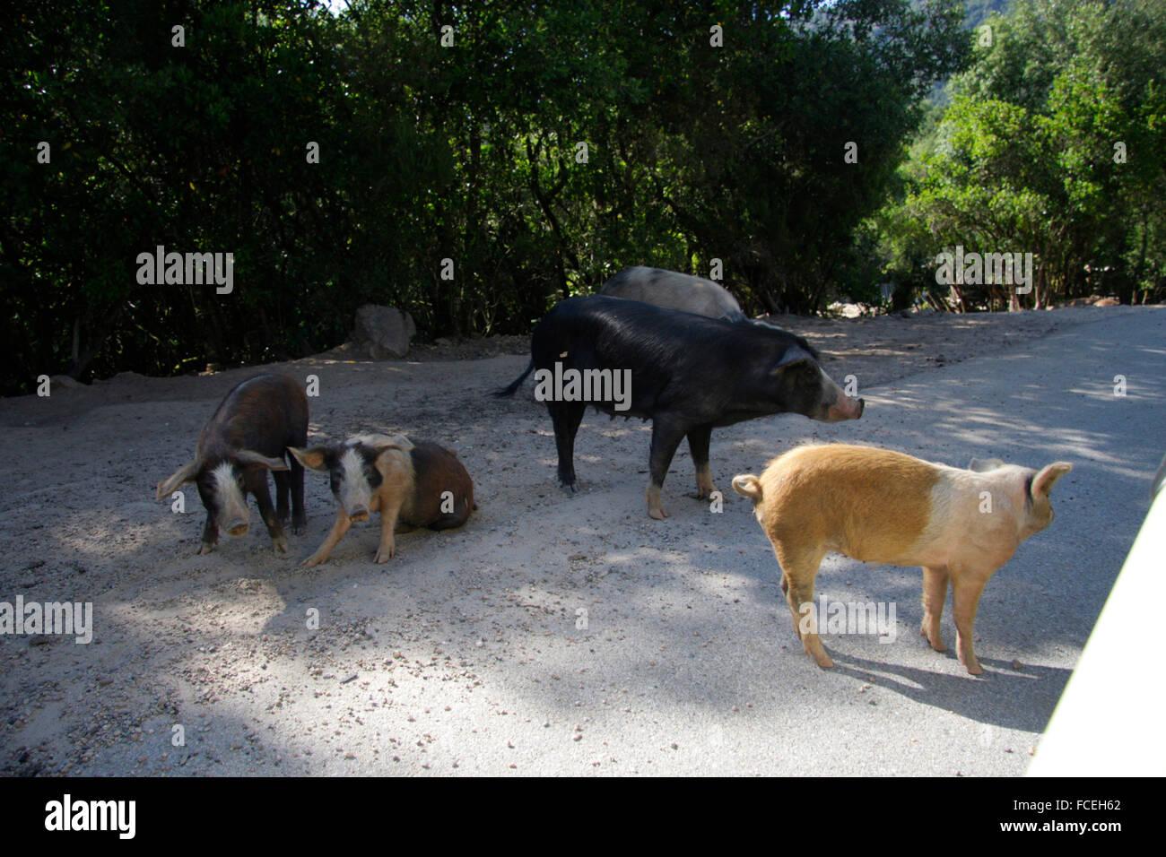 wilde Schweine, Korsika, Frankreich. - Stock Image