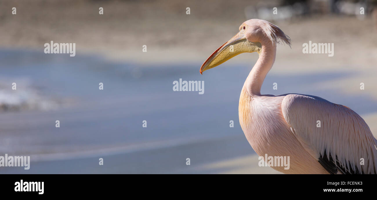Pelican close up portrait on the beach in Cyprus. Stock Photo