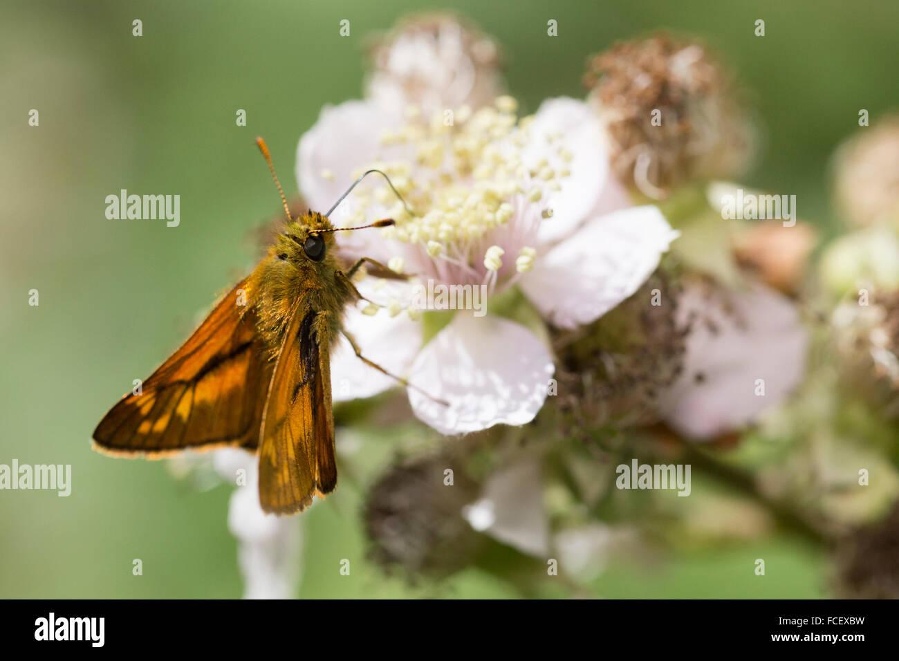Large Skipper nectaring on Bramble flower - Ochlodes sylvanus - Stock Image