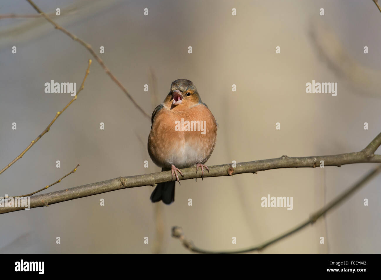 Chaffinch (Fringilla coelebs). Male with open beak perched on a twig. - Stock Image
