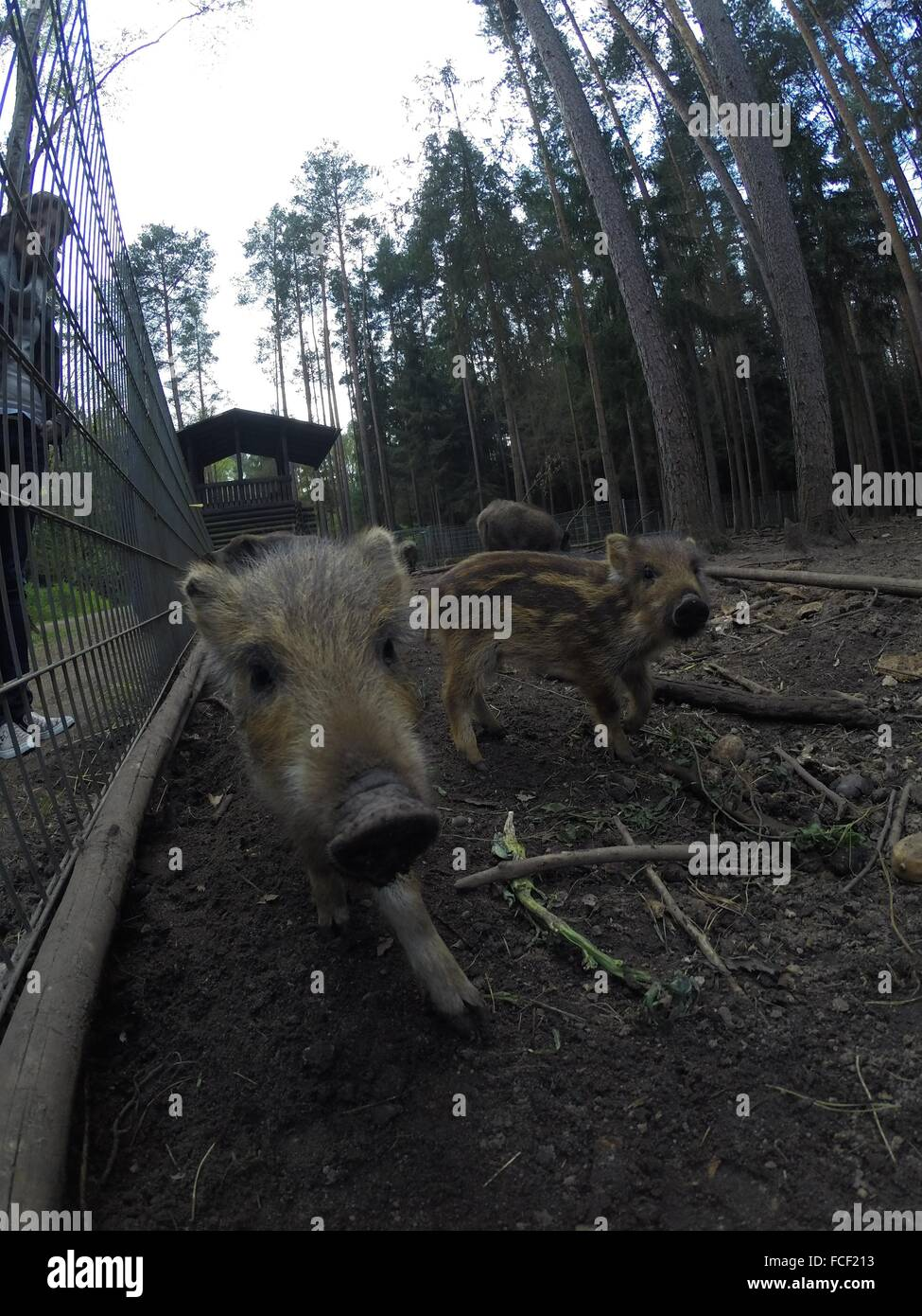 View Of Wild Boars - Stock Image