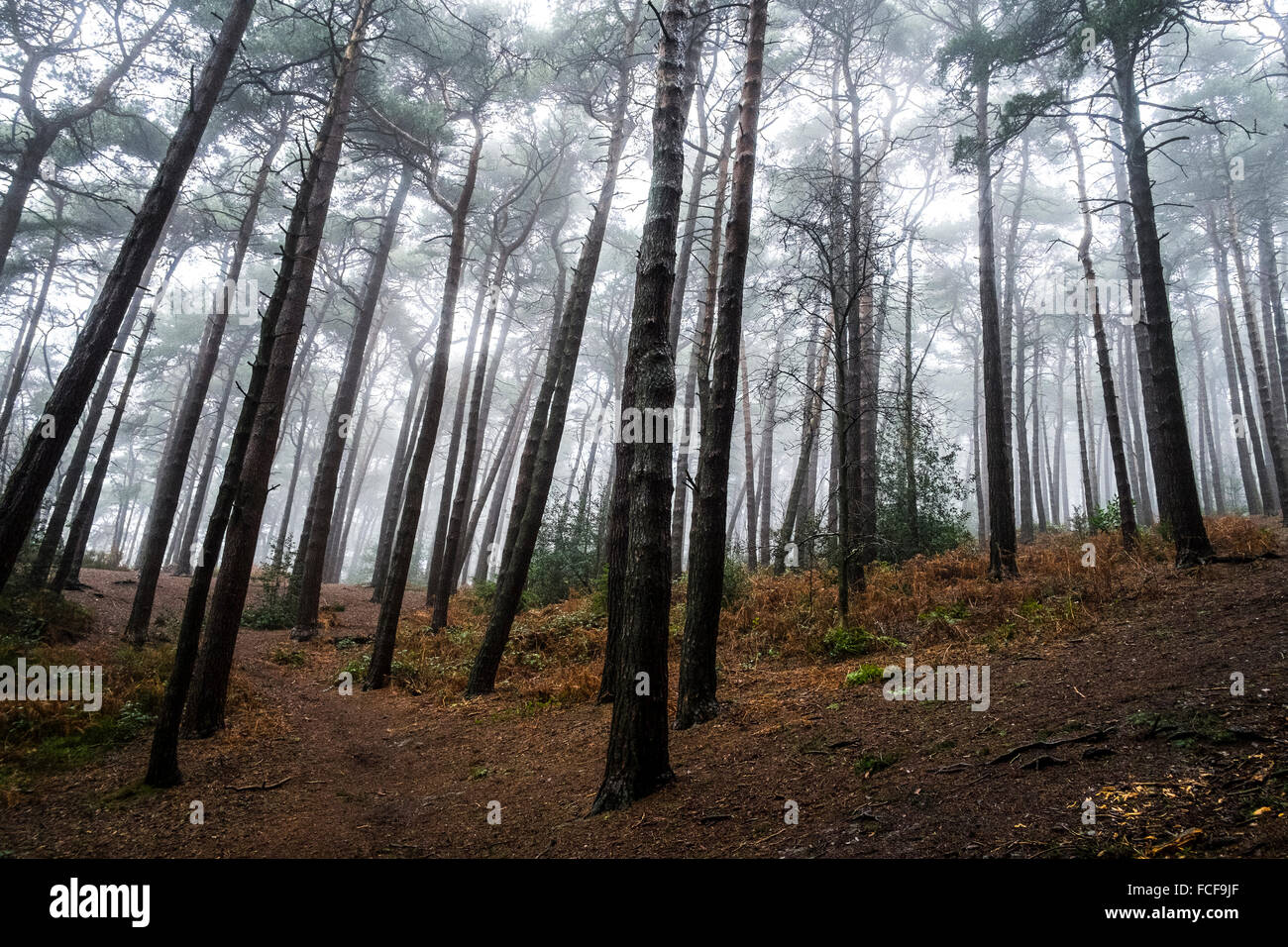 Trees in woodland on the Lickey Hills, West Midlands, UK. - Stock Image
