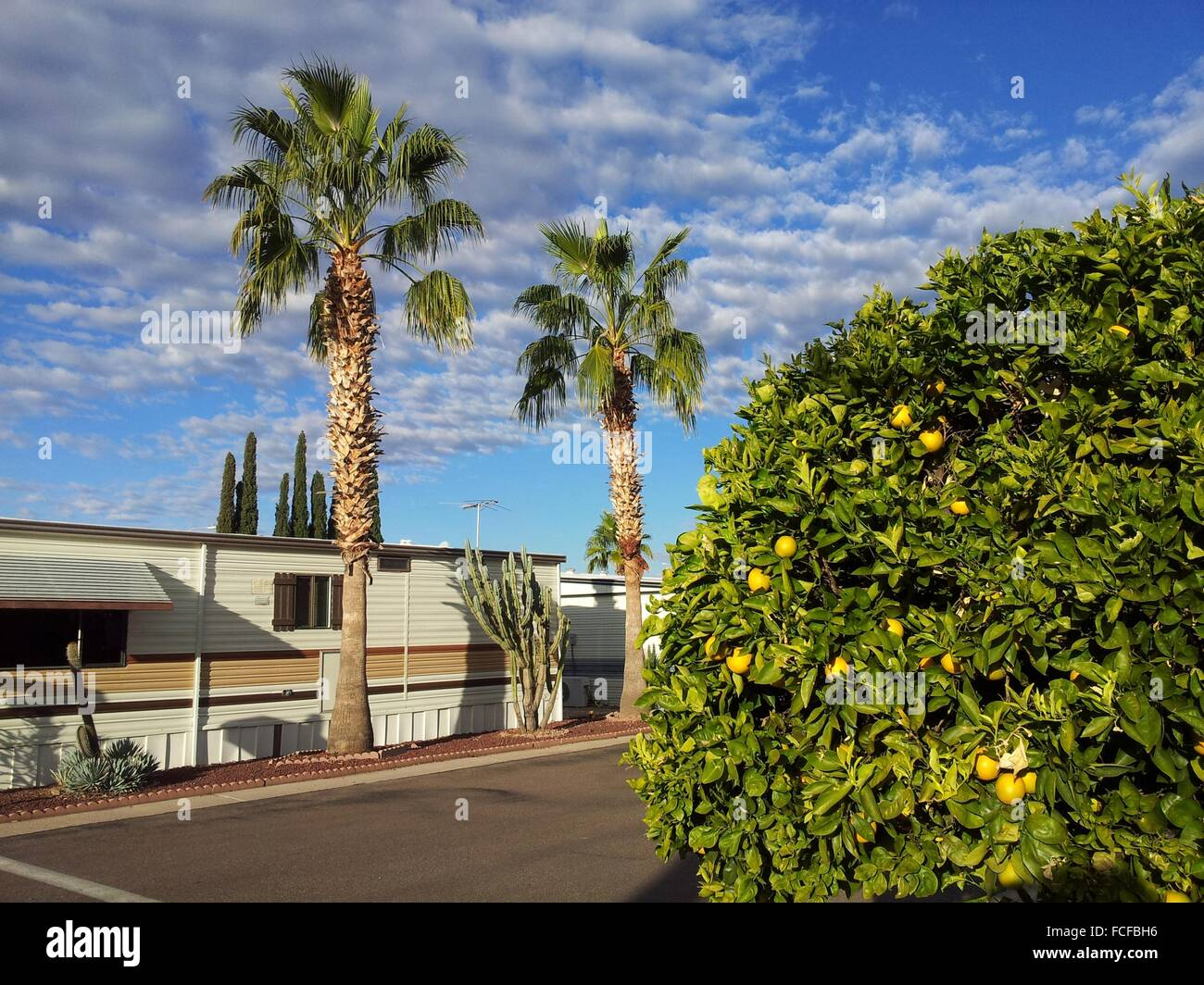 Orange And Plam Trees In An 55 Years Older Active Living Community Mesa Arizona United States Of America