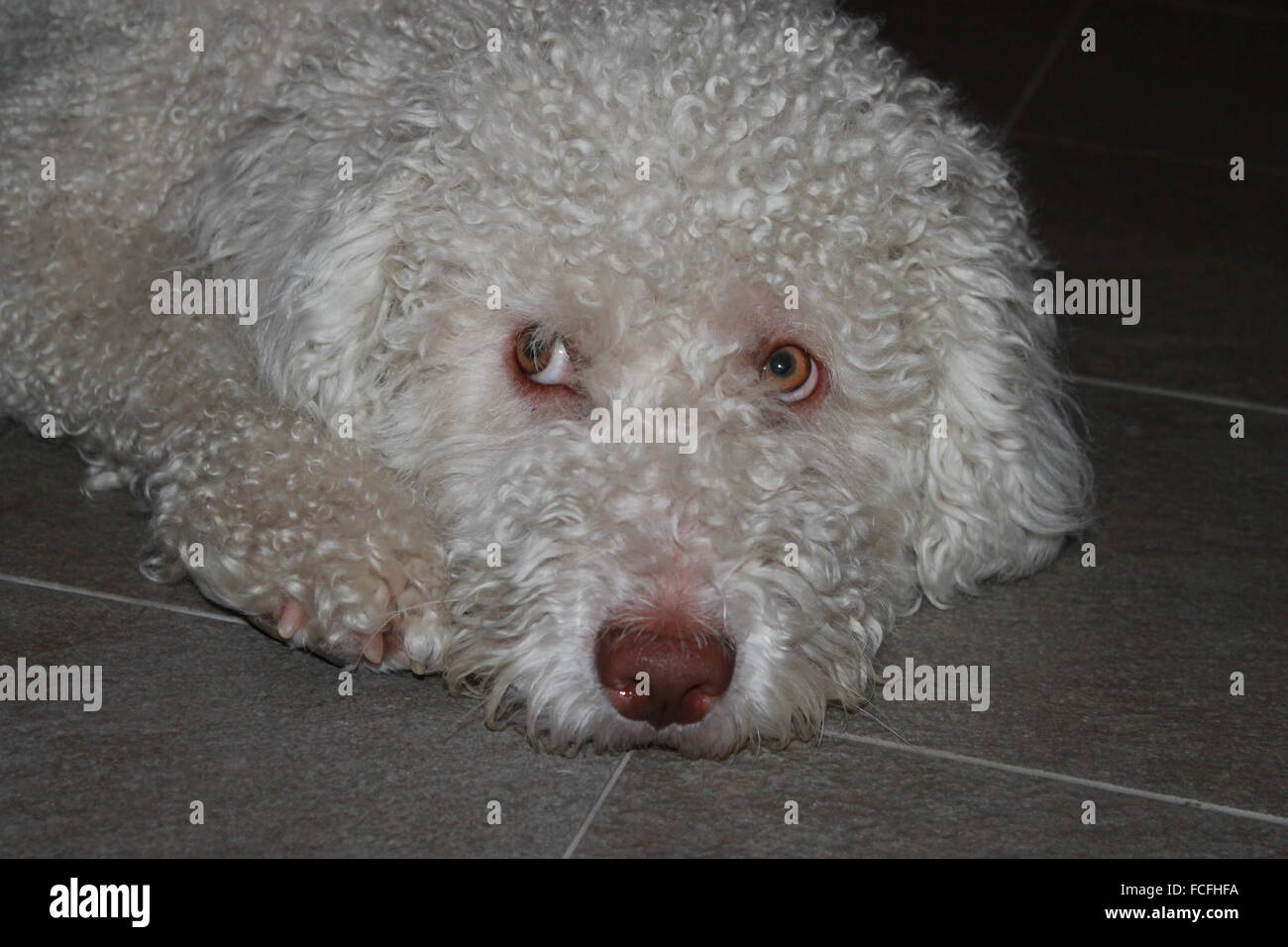 Spanish Water dog (perro de agua español) resting on the floor. Stock Photo