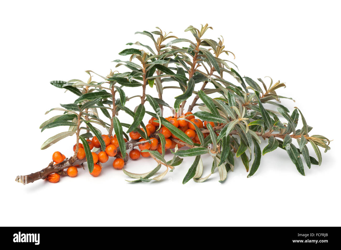 Twig of fresh common sea-buckthorn with orange berries on white background - Stock Image