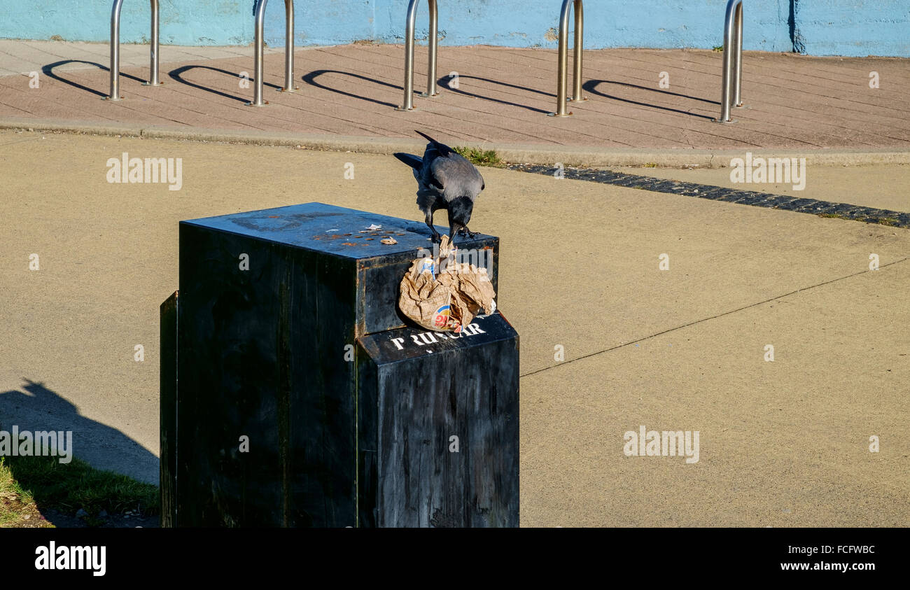 crow pulling eating food from garbage rubbish bin - Stock Image