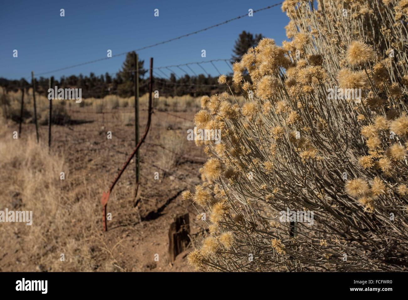Golden yellow bur bush and wire fence in California. - Stock Image