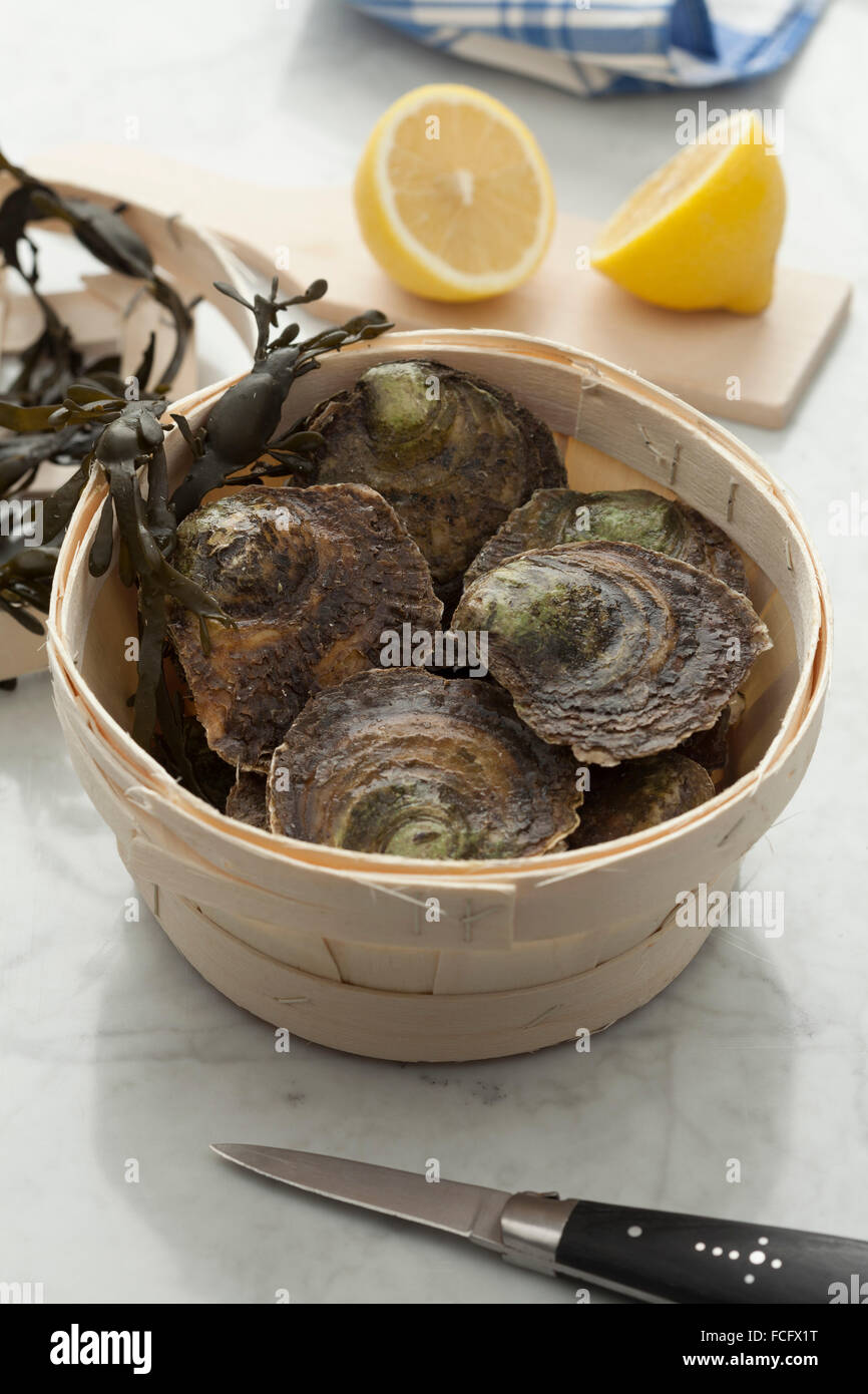 Fresh European flat oysters in a basket - Stock Image