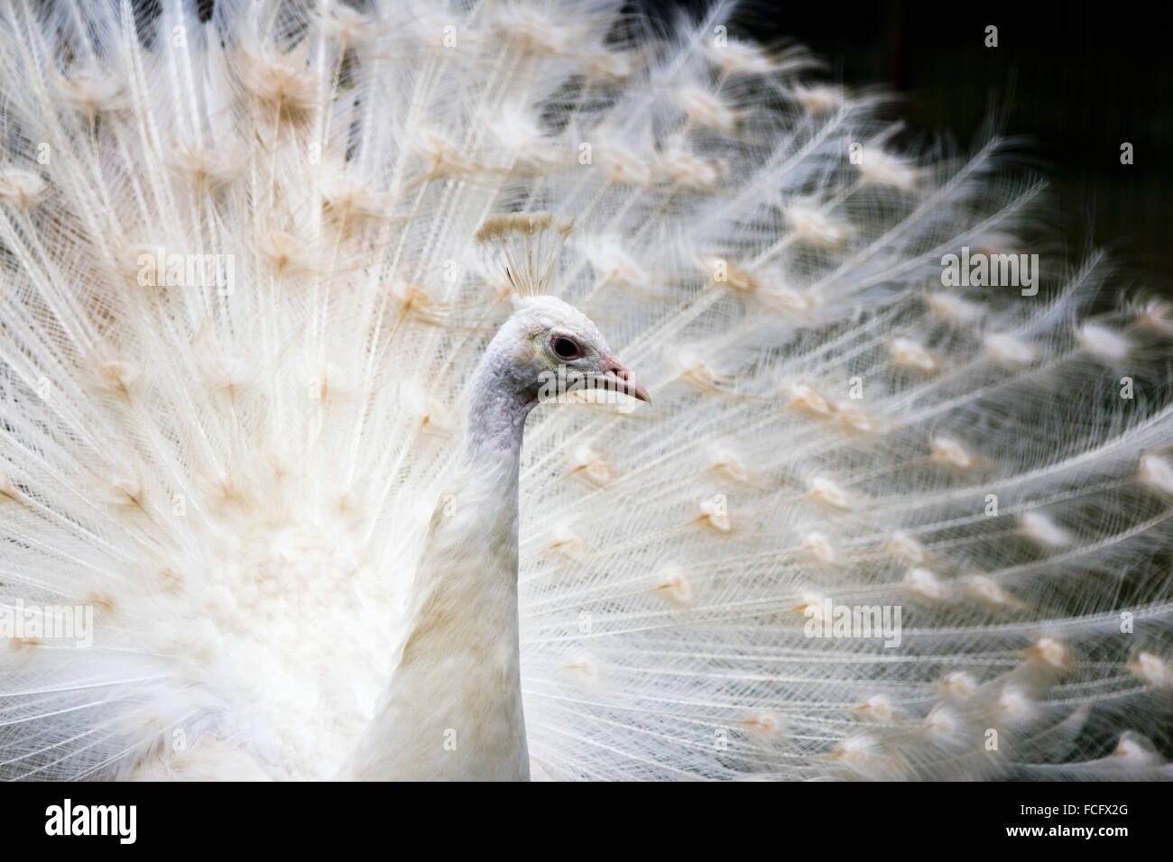White peacock - Stock Image
