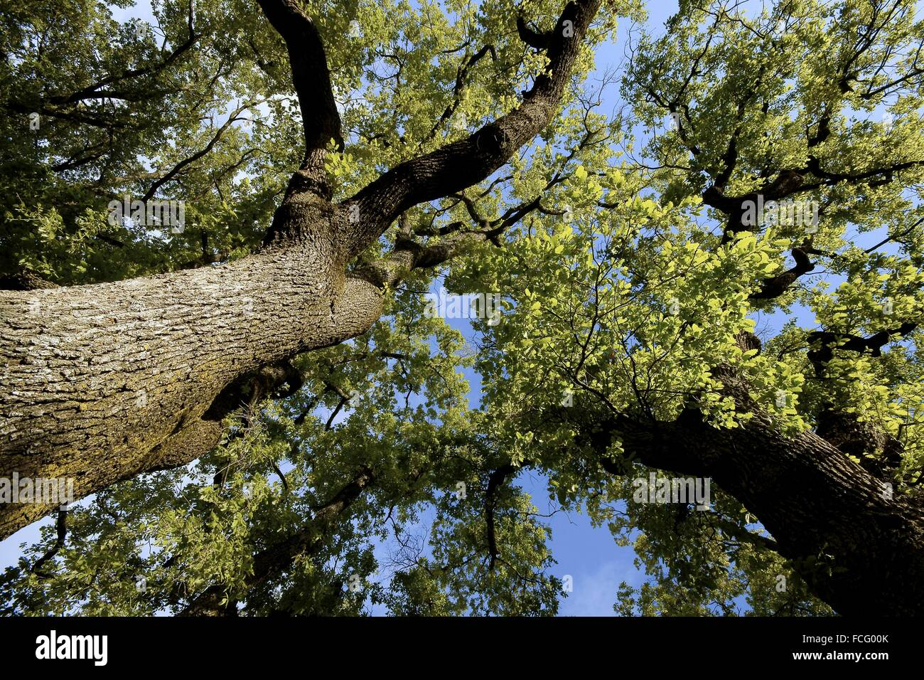 Oak (Quercus robur), Isábena river valley, Huesca province, Aragon, Spain - Stock Image
