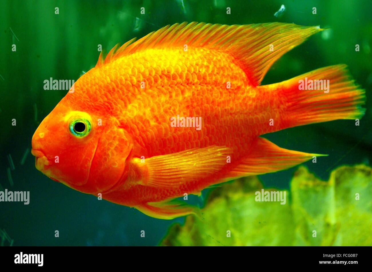 Parrot Fish Stock Photos & Parrot Fish Stock Images - Alamy