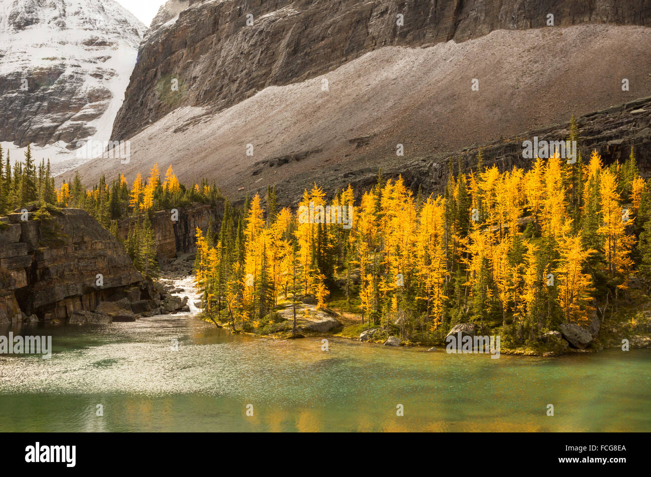 Golden larch trees on the shore of a pristine alpine lake in Yoho National Park, British Columbia, Canada - Stock Image