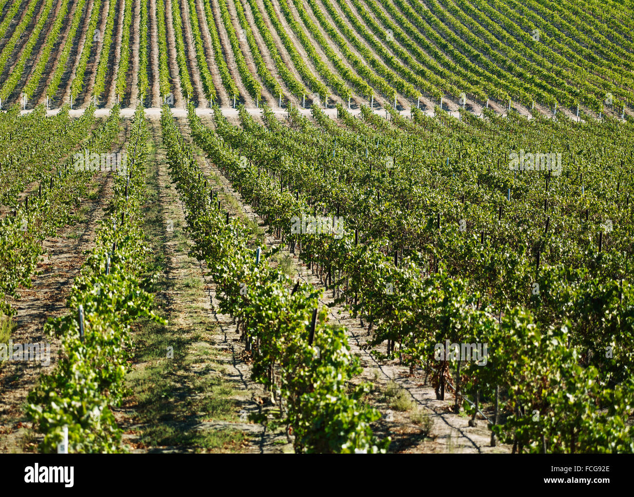 A large vineyard in Northern California, with long rows of healthy grapevines extending off into the distance - Stock Image